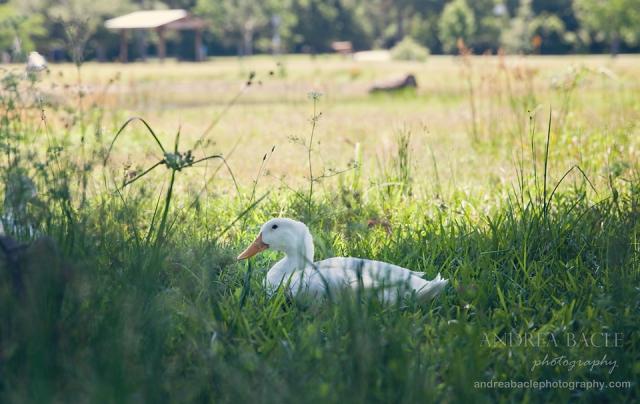 blog duck